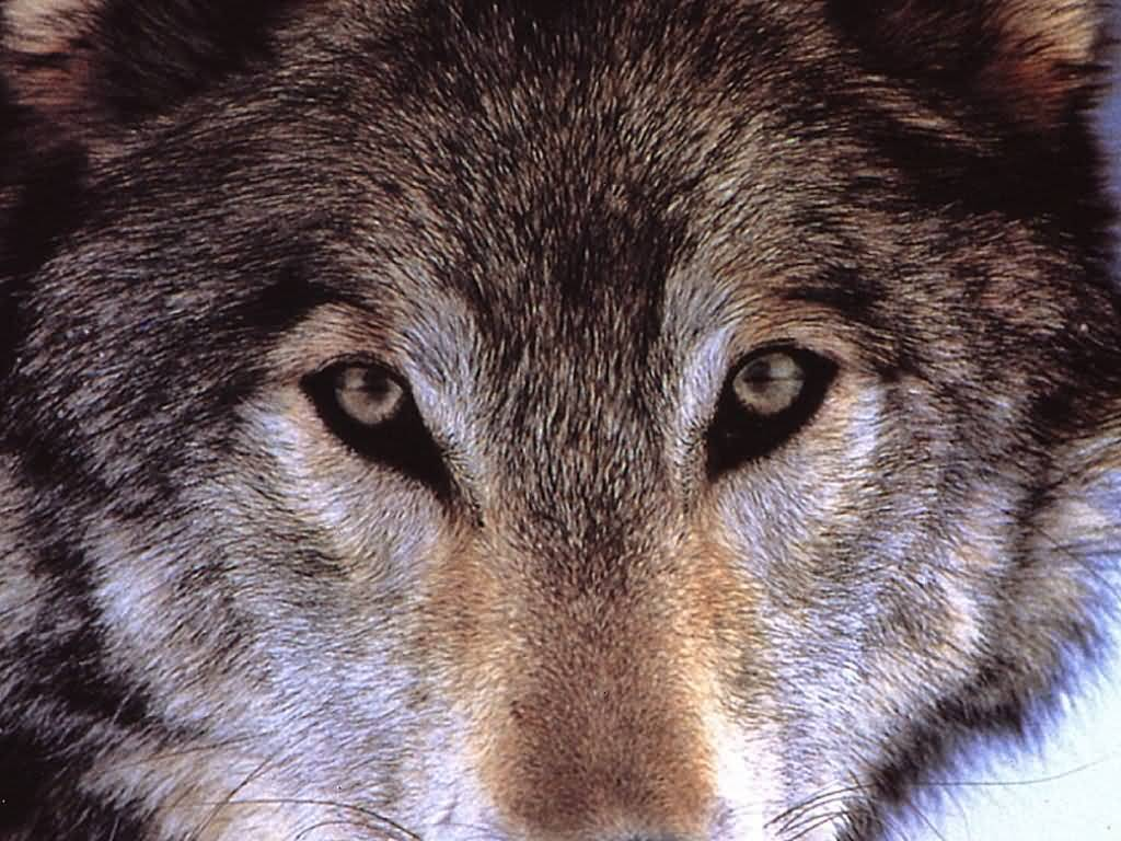 Wolves wolf close up