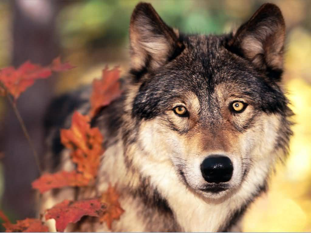 Wolf,In The Autumn/ Fall