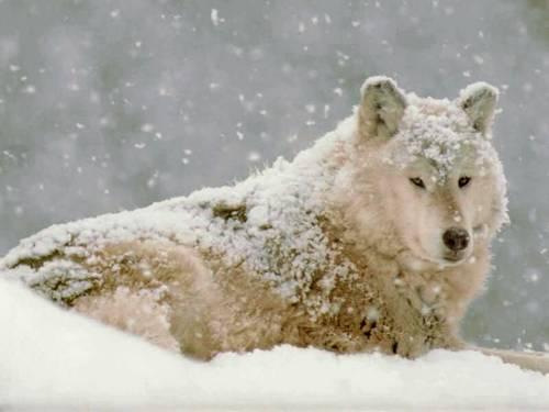 بھیڑیا Covered In Snow