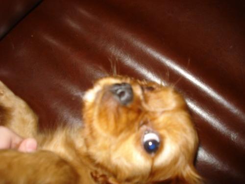 Ziggy, my (1-2vampire's) pwuppy!!