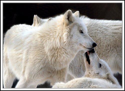 White волк Family