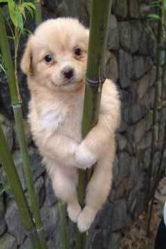 Bamboo anjing, anak anjing Panda