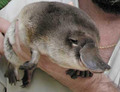 Platypus - platypus photo