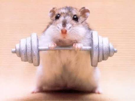 Animal Humor wallpaper with a dumbbell called Strong Guinea Pig