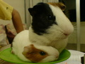 piggy & lady - guinea-pigs photo