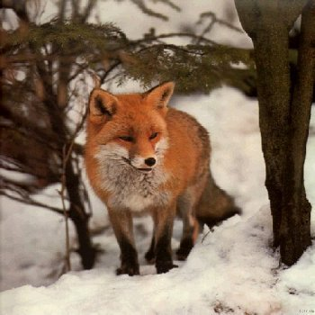 Beatiful Foxes