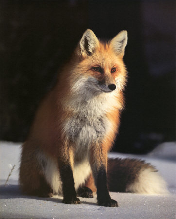Beatiful Foxes