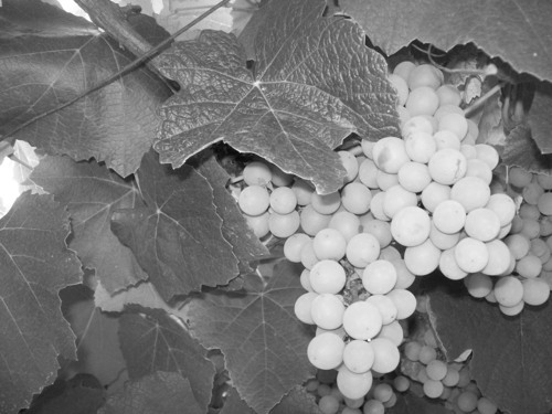 fotografi wallpaper with a vinifera, a pinot blanc, and a sauvignon blanc entitled Grapes