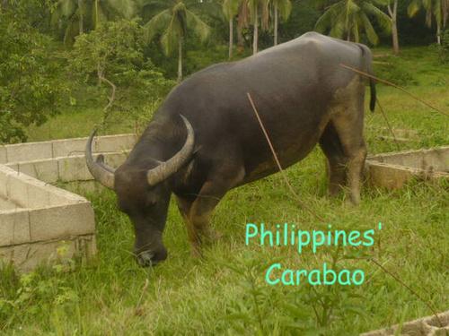 Philippines' Carabao
