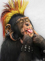 Punk  Chimp - monkeys photo