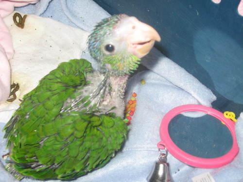 Tarzan-Baby 鸚鵡, オウム
