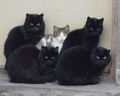 Black gatos