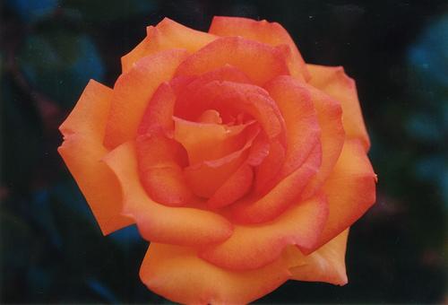 橙子, 橙色 Rose