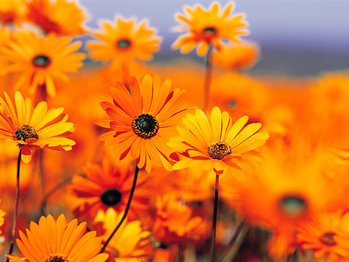 Poems fond d'écran with a black eyed susan, a sunflower, and a blue eyed african marguerite, daisy called POEM