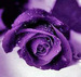 Purple Rose - roses icon