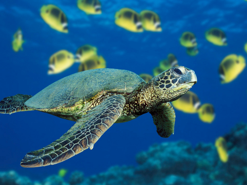 Poems fond d'écran with a hawksbill turtle, a green turtle, and a sea tortue titled poemZ