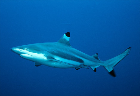 Blacktip bahura pating