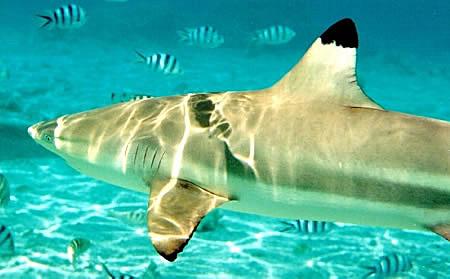 Blacktip リーフ 鮫, サメ
