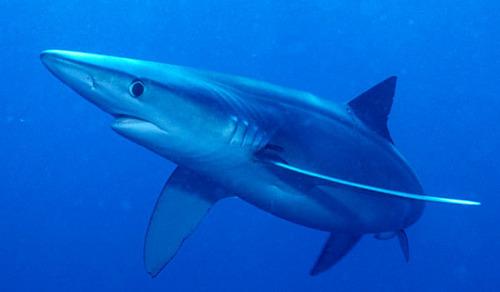 Blue tubarão