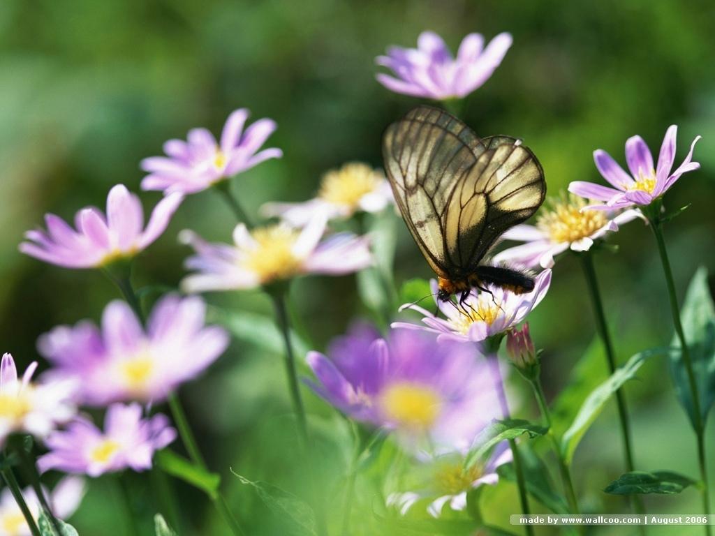butterfly wallpaper butterflies wallpaper 7451002 fanpop