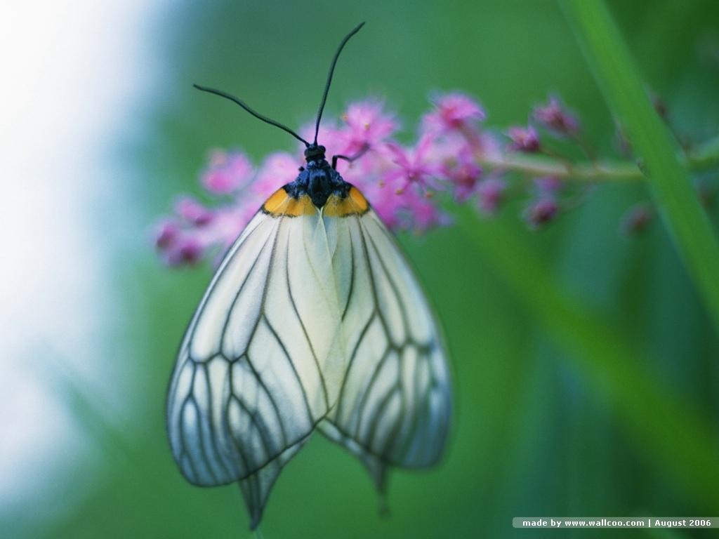 kupu-kupu wallpaper