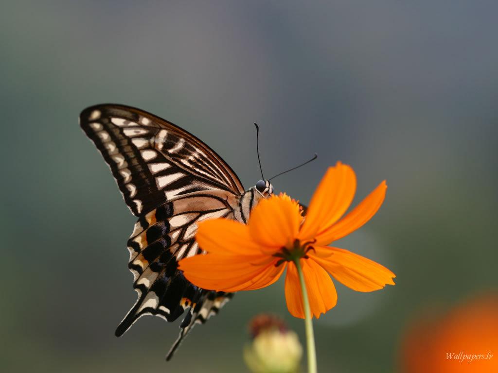 Http Www Fanpop Com Clubs Butterflies Images 7451109 Title Butterfly Wallpaper Wallpaper