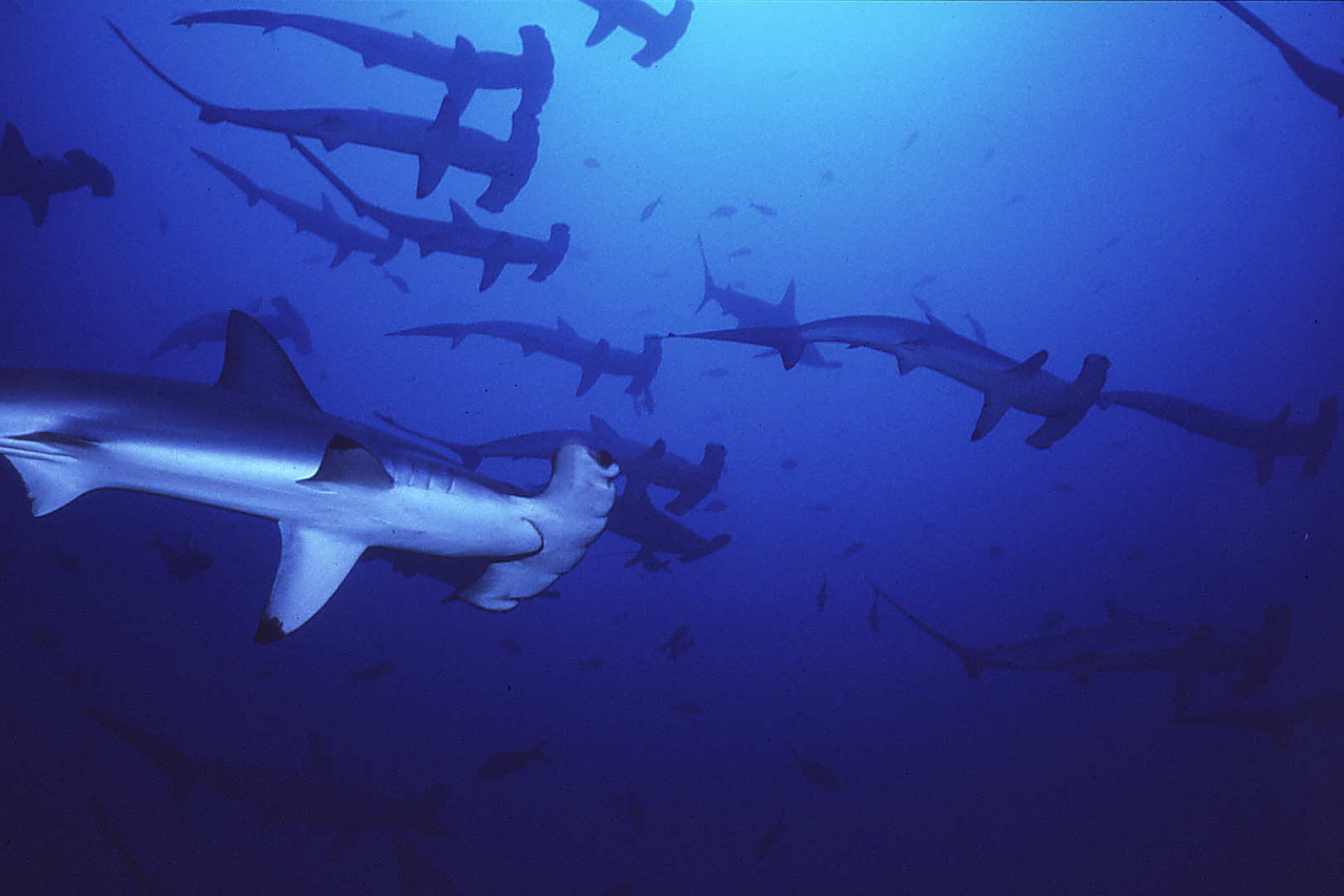 Hammerhead shark - photo#24