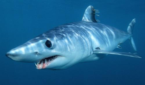 Mako 鮫, サメ