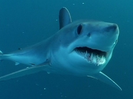 Mako акула