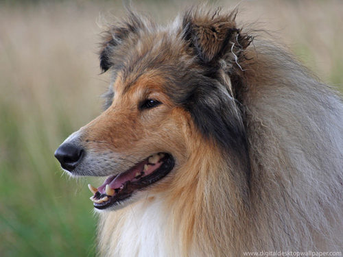 Rough collie Hintergrund