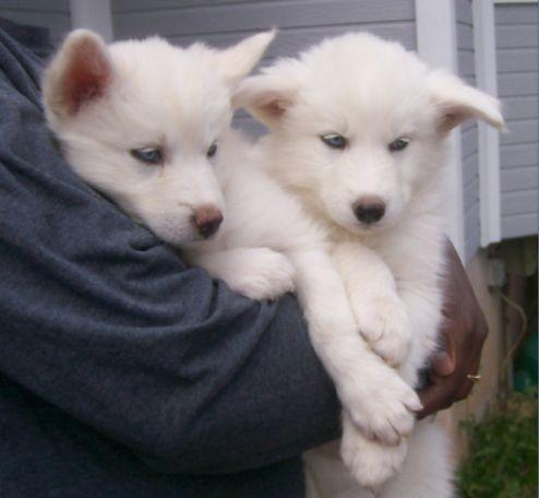 White নেকড়ে Pups With Blue Eyes