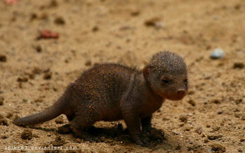 Banded Mongoose Baby