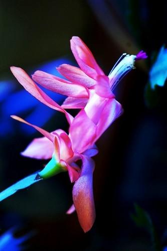 Cactus 花