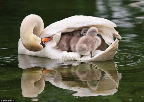 Wild Animals wallpaper called Mother Swan