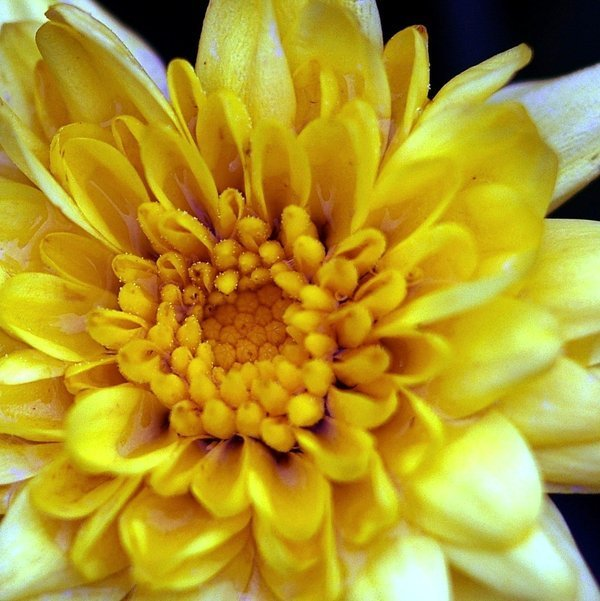 yellow flower pictures - photo #23