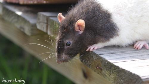my fat rat