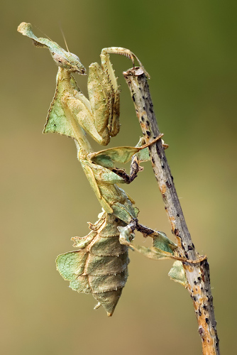 the mantis i will soon get +__+