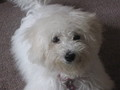 Milly - bichon-frises photo