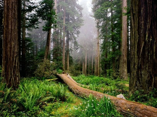 National Geographic Hintergrund containing a ponderosa, a sitka spruce, and a douglas fir titled Amazing Nature Hintergründe