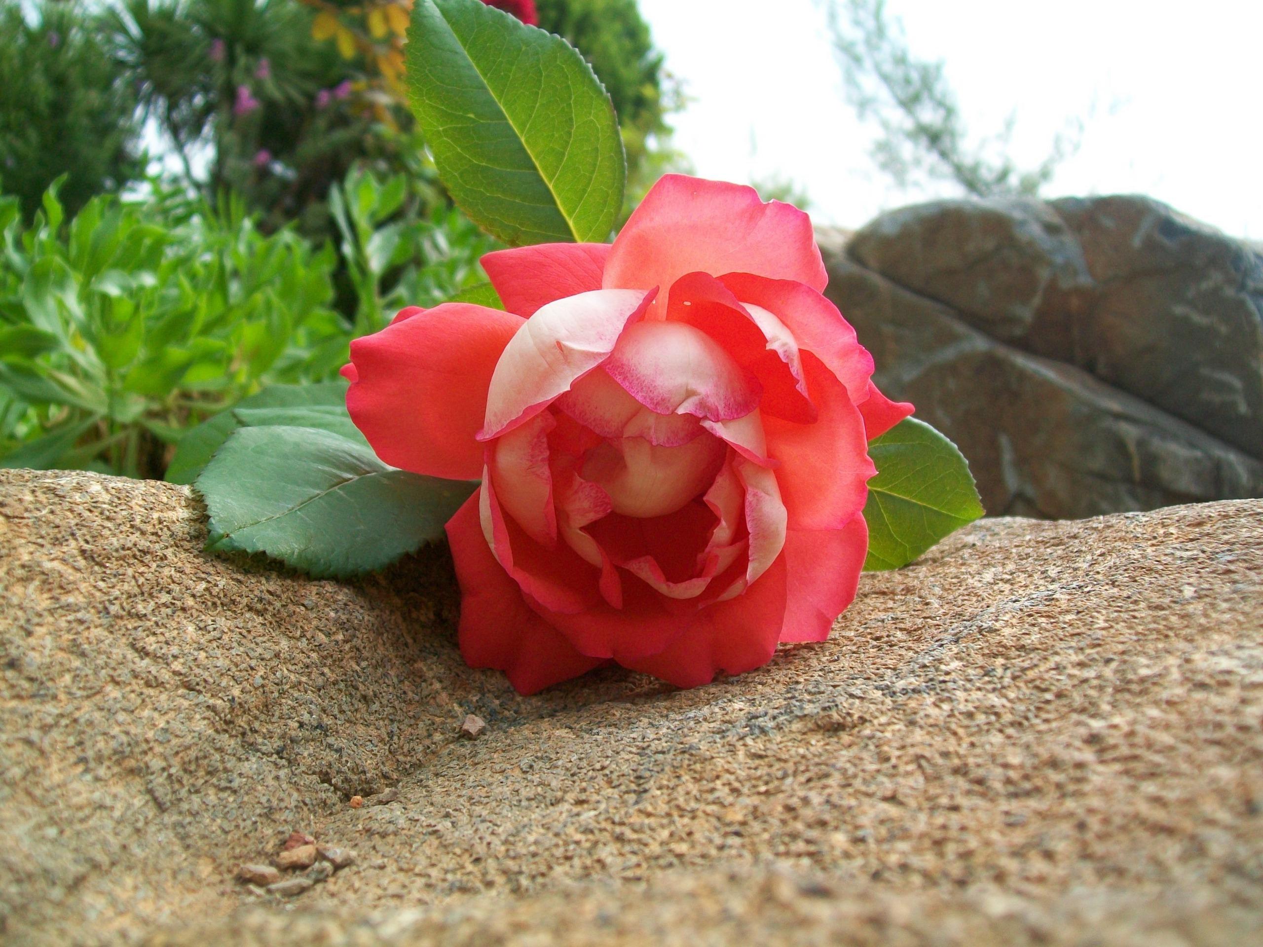 Tumblr Rose Photography