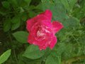 Wet Rose - photography wallpaper