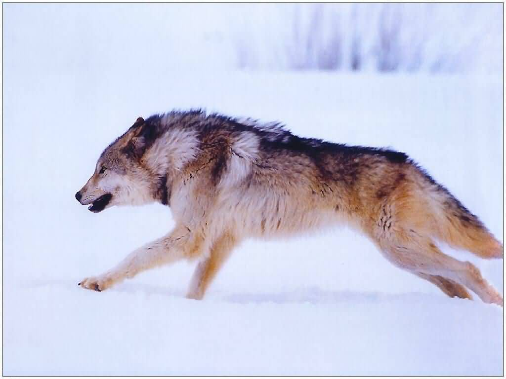 running wolf wolves wallpaper 7896533 fanpop