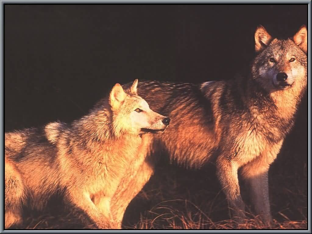 Wolves By Night