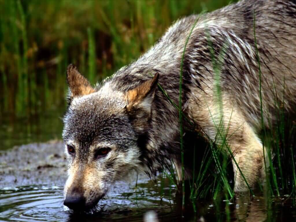 wolves images montana wolf drinking water hd wallpaper and
