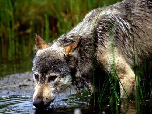 Montana serigala Drinking Water