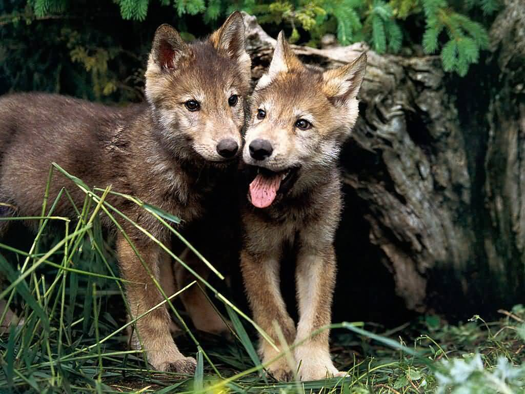 Wolves wolf pups