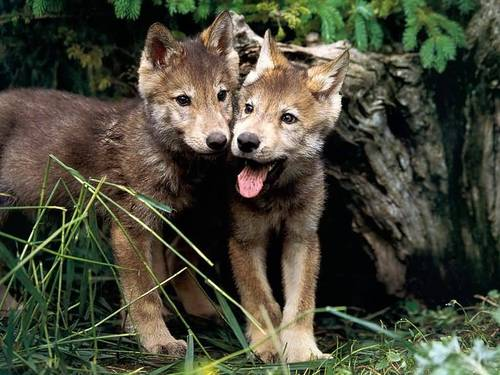 Wolf Pups - wolves Wallpaper