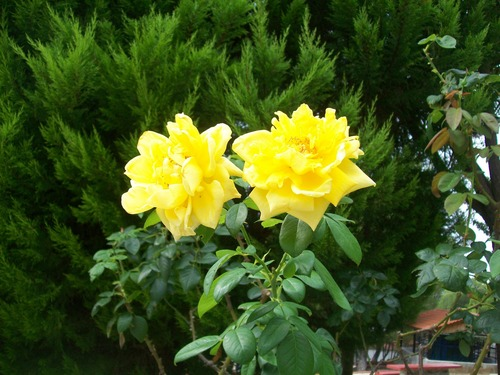 Photography wallpaper entitled Yellow roses