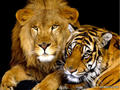 a lion & a tiger - all-about-lions photo