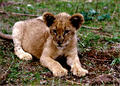 lion cub - all-about-lions photo